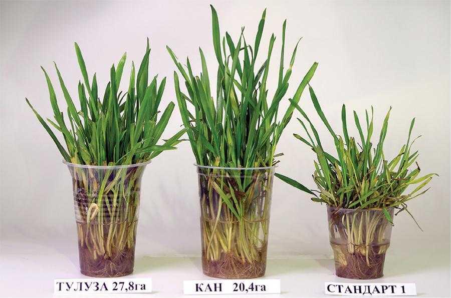 Турботи про врожай озимої пшениці у 2021 році-1