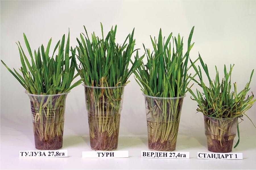 Турботи про врожай озимої пшениці у 2021 році-2