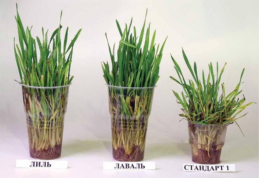Турботи про врожай озимої пшениці у 2021 році-3