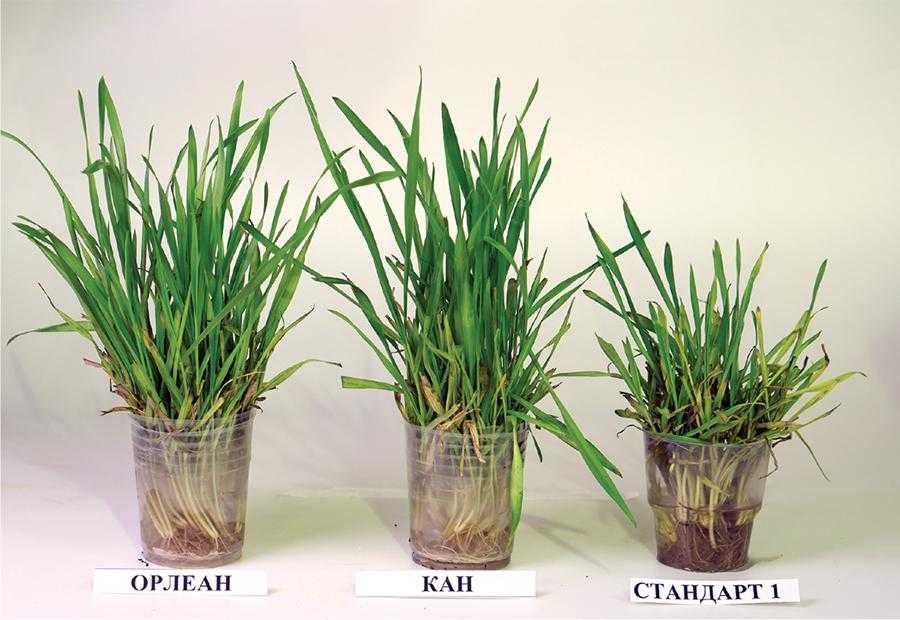 Турботи про врожай озимої пшениці у 2021 році-4