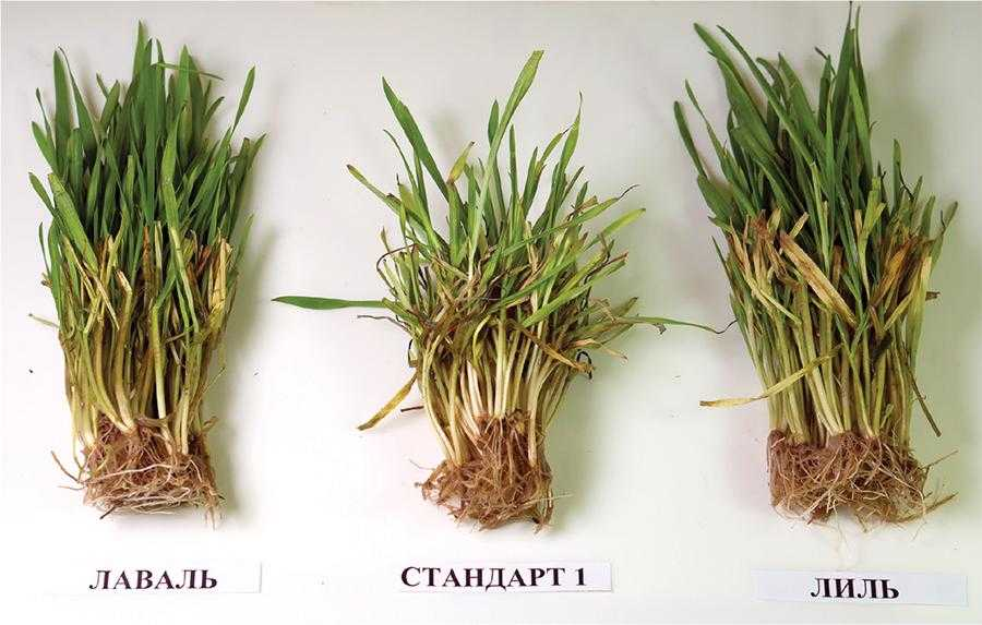 Турботи про врожай озимої пшениці у 2021 році-6