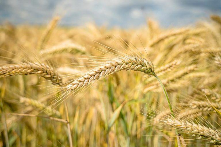 Турботи про врожай озимої пшениці у 2021 році