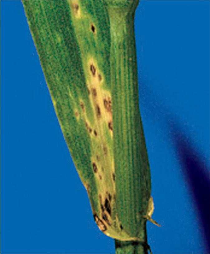 Типове для Septoria nodorum ураження листкових пазух і основи листка