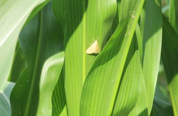 У посівах кукурудзи розпочинається літ небезпечного шкідника