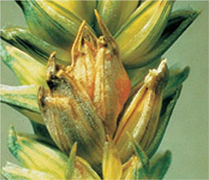 Ураження колоса Fusarium spp. утворений спородохіями типовий наліт оранжевого або рожевого кольору на колоскових лусочках
