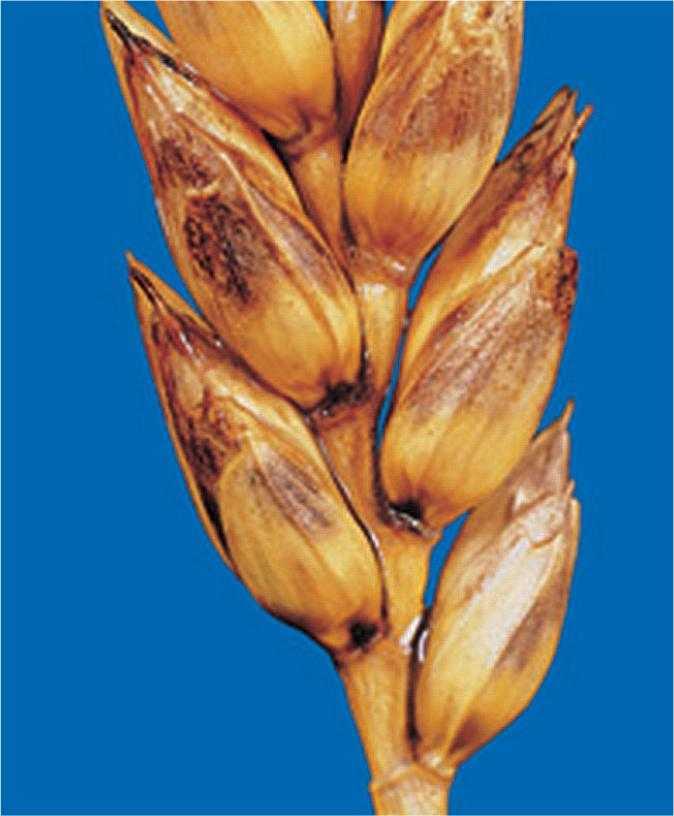 Ураження колоскових лусочок Septoria nodorum