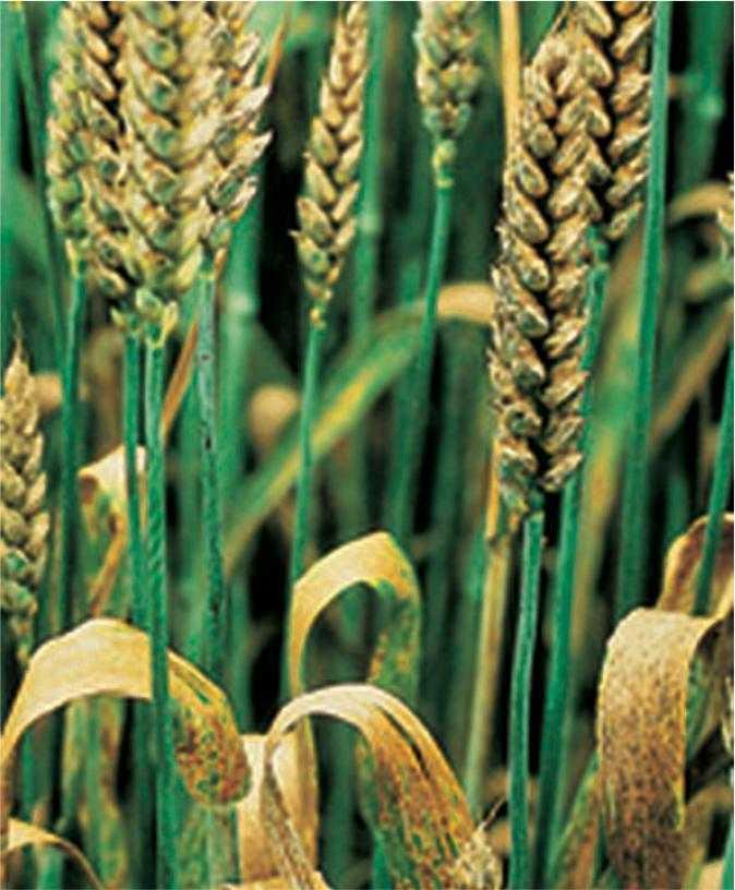 Ураження прапорцевого листка і колоса Septoria nodorum на посівах озимої пшениці