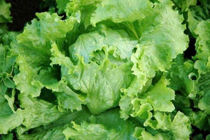 Вчені вивели сорти салату, стійкі до пероноспорозу