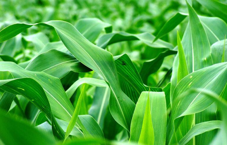 Від чого залежить ефективність листкового удобрення рослин