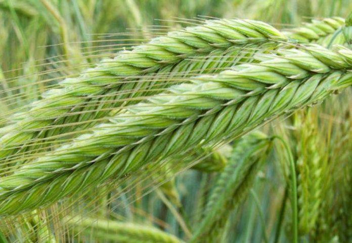 Як у ТОВ «Агро-Регіон Україна» вирощують озиме жито на піщаних грунтах