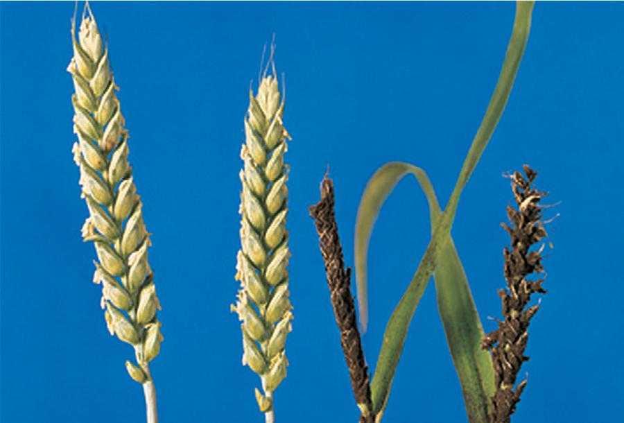 Зліва здорові колоски. Справа колоски, уражені летючою сажкою пшениці