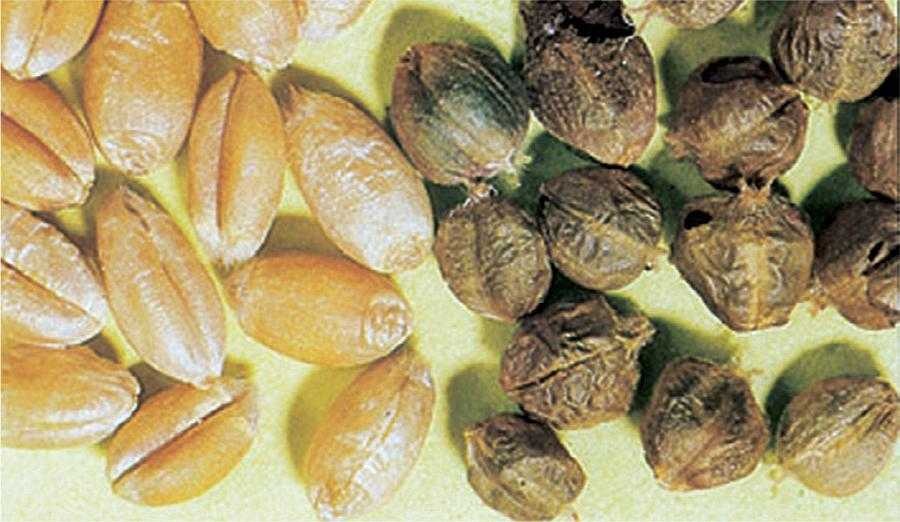 Зліва здорові зерна. Справа сажкові мішечки