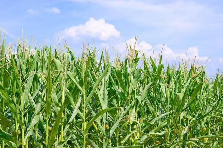 Чому в кукурудзи шаблевидні листки?