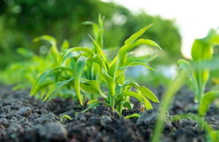 Вносимо страхові гербіциди на кукурудзі