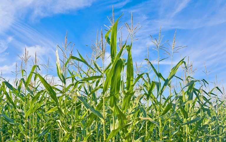 Роль азотно-сірчаного живлення в розвитку кукурудзи