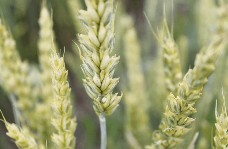 Своєчасний контроль фузаріозу колосу захистить урожай зернових