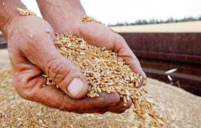 Аналітики прогнозують рекордне виробництво зерна, але не впевнені у його високій якості
