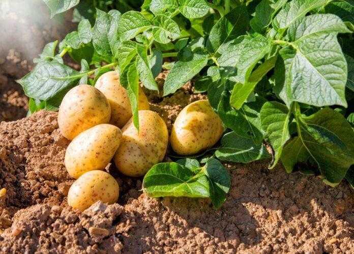 День картоплі 2021