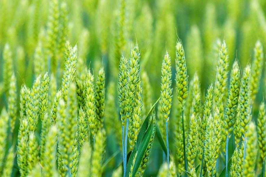 Сучасна система живлення пшениці
