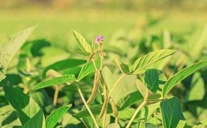 Ефективні рішення для контролю кліщів у посівах сої нинішнього року