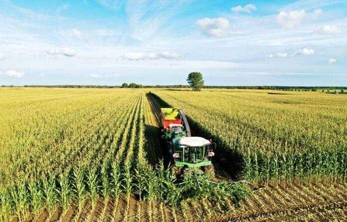Вирощування кукурудзи на силос: як збільшити урожайність