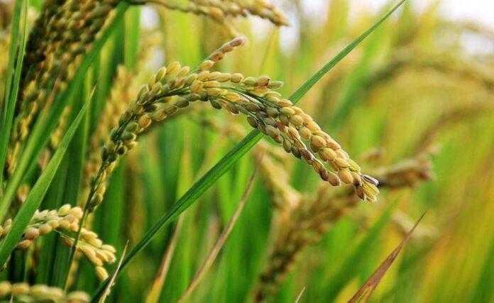 На Херсонщині посіви рису вразили естерії, рачки та болотні бур`яни