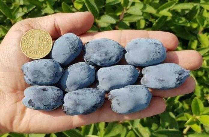 На Вінниччині виростили найкрупніші у світі ягоди жимолості