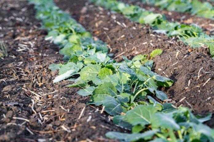 Незабаром нова посівна: перший крок до високої врожайності ріпака озимого