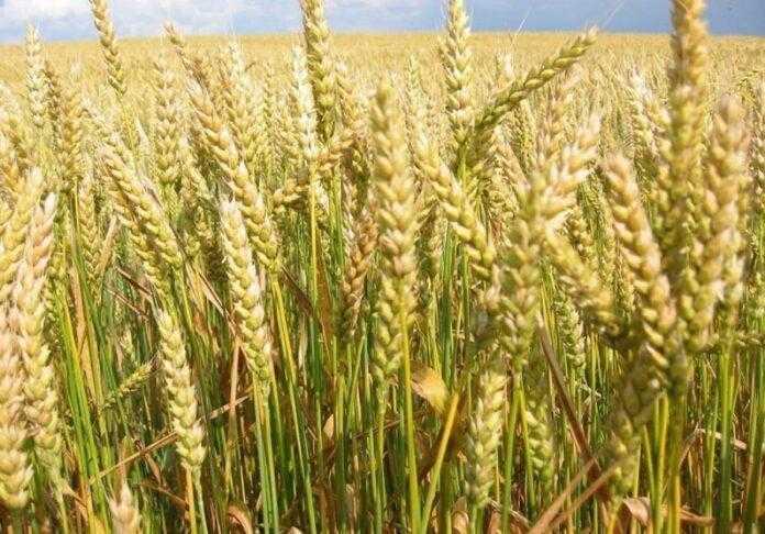 Озвучено стан ярої пшениці та її прогнозовану урожайність