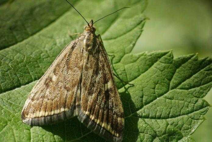 Погодні умови сприяють масовій появі в усіх регіонах лучного метелика