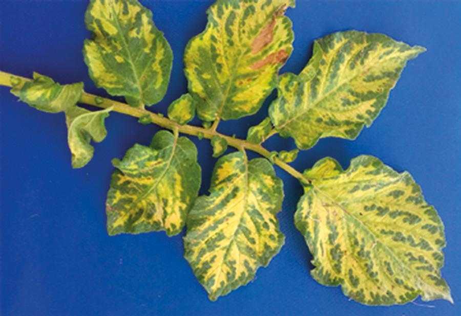 Рис. 1. Лист рослини картоплі, обробленої метрибузином (сорт, чутливий до цього гербіциду)
