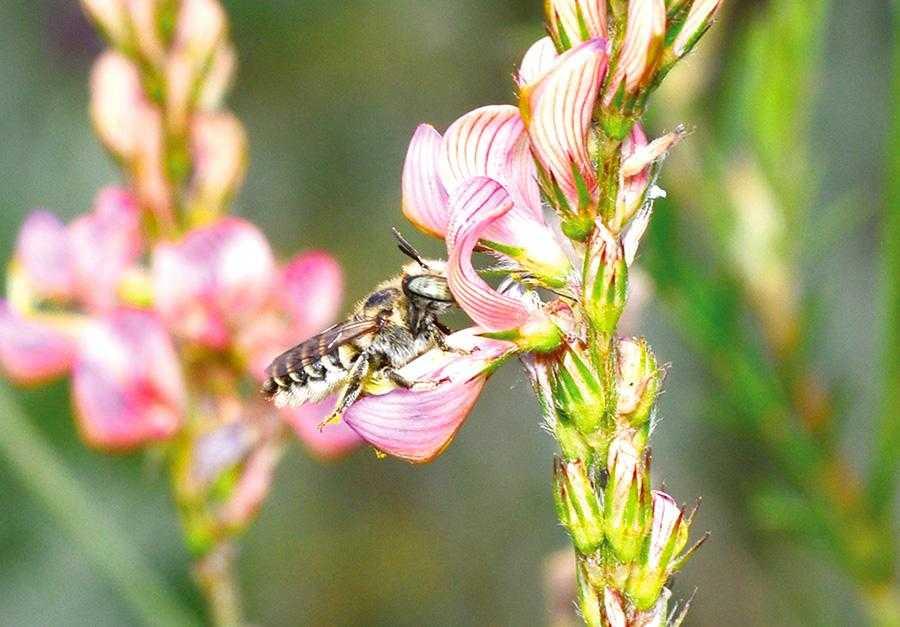 Рис.1. Поодинока бджола-листоріз