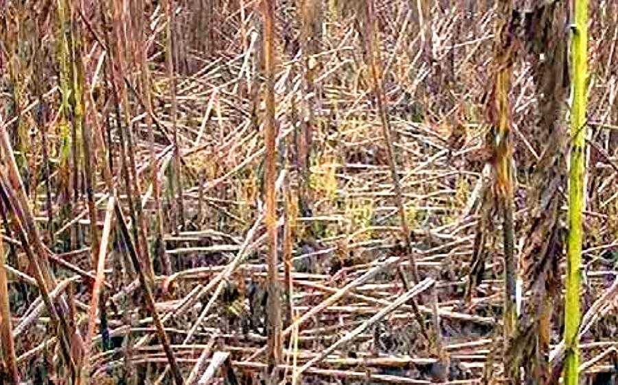 Рис.1. Загальний вигляд значного ураження соняшникового поля фомопсисом