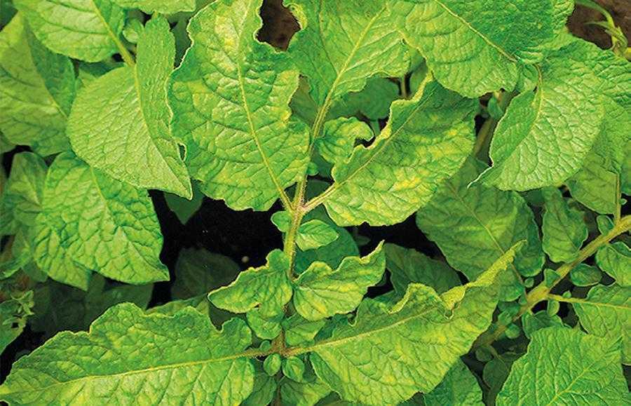 Рис. 2. Рослини картоплі, вирощені у ґрунті, забрудненому залишками тріасульфурону