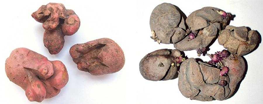 Рис. 3, 4. Бульби картоплі, вирощені у ґрунті, забрудненому залишками метсульфурон-метилу
