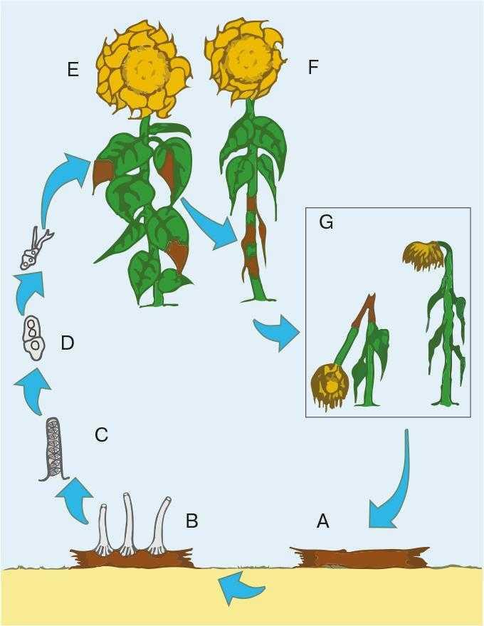 Рис.3. Біологічний цикл Phomopsis helianthi