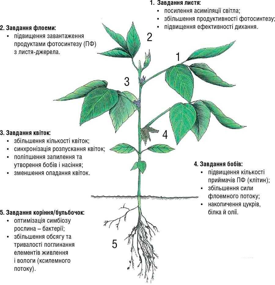 Рис. 3. Функції органів рослини сої