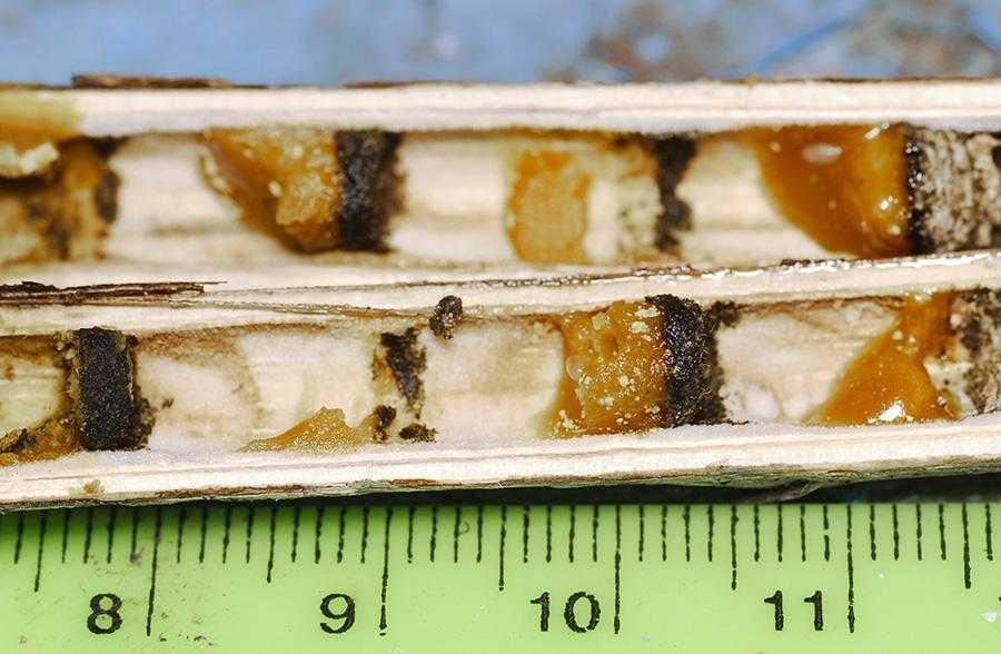 Рис. 6. Гніздові комірки стеблової бджоли-гілеуса