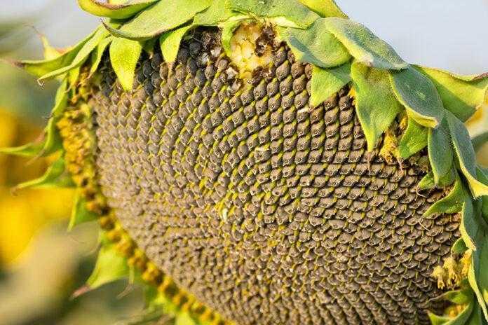 Вплив диференційованої сівби на врожайнівсть соняшнику