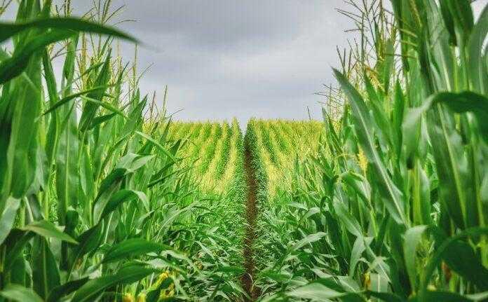 Як ефективно захистити посіви кукурудзи від шкідників