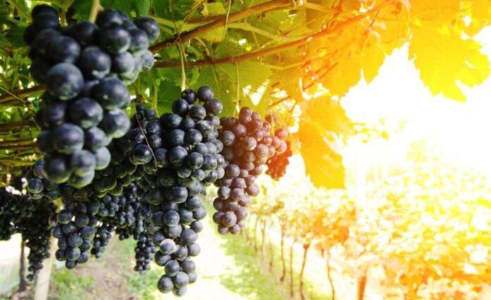 Як надійно захистити виноград від небезпечних хвороб