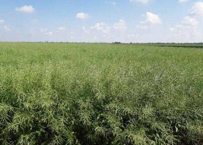 Як виростити високий урожай ріпаку попри погодні негаразди - досвід