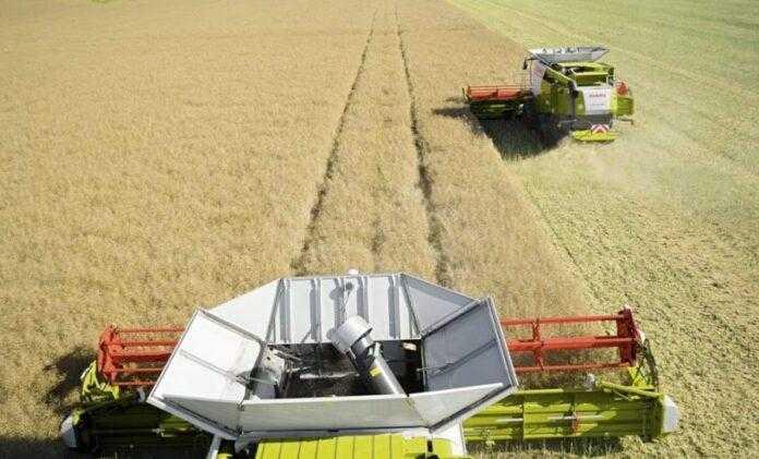 Жнива озимого ріпаку трохи запізнюються, але урожайність очікують високу