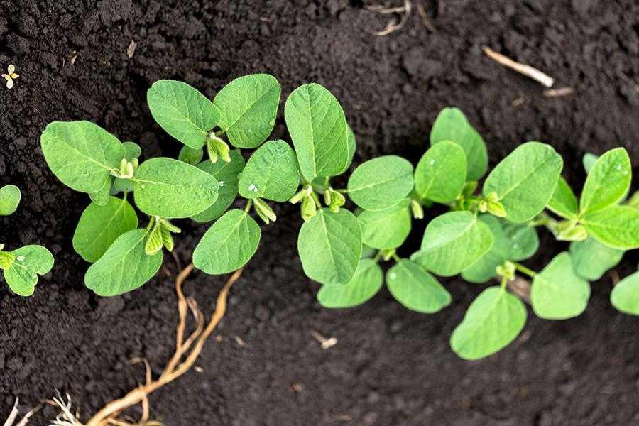 Живлення сої та вплив стресових чинників на врожайність