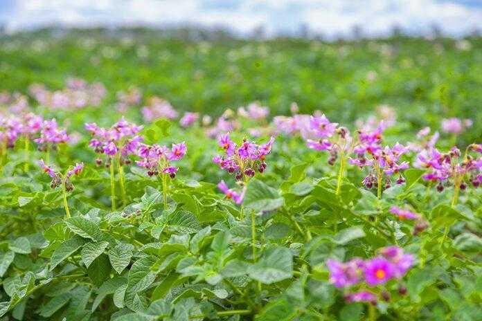 Зниження гербіцидних токсикозів у сівозміні з картоплею