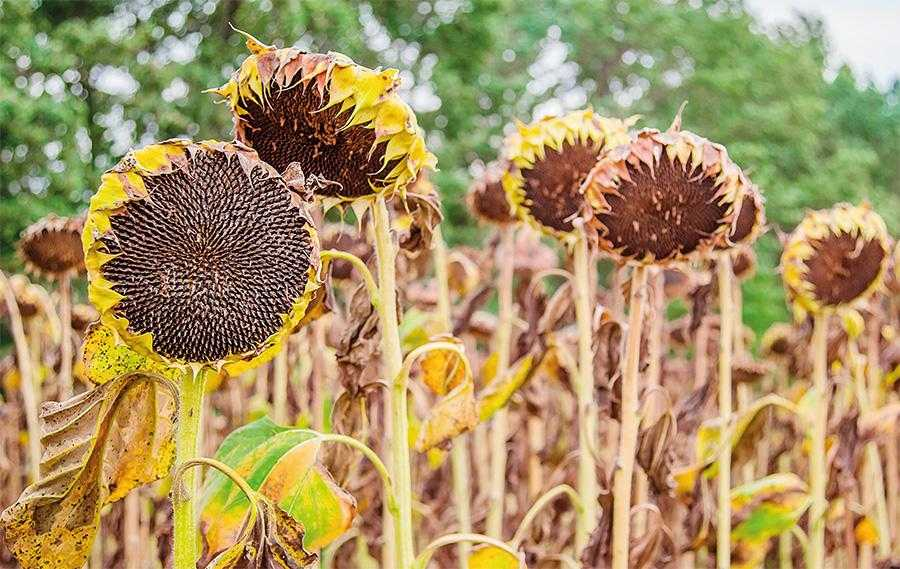 Оптимальним для десикації соняшнику вважається термін, коли вологість насіння становить 30–35%, тобто через 40–45 днів після масового цвітіння. У цей час налічується 50–60% рослин із жовтими, 20–30% – з жовто-бурими і 10-20% – з бурими кошиками