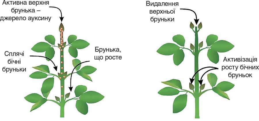 Активізація росту бічних бруньок у рослин сої