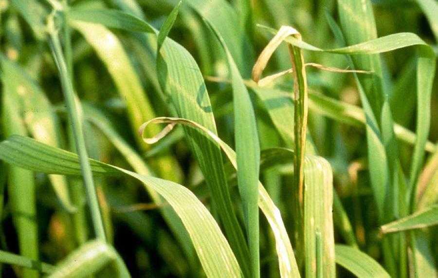 Брак міді у пшениці часто плутають із хворобами листя. Симптоми включають хлороз і некроз молодих листків