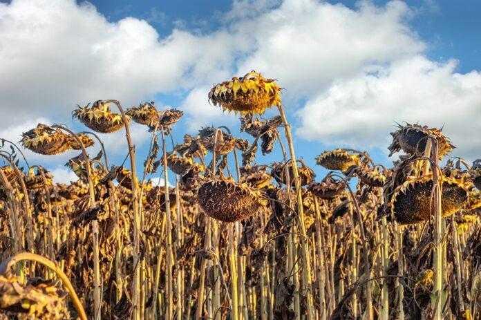 Збирання врожаю соняшнику та дослідження його якості