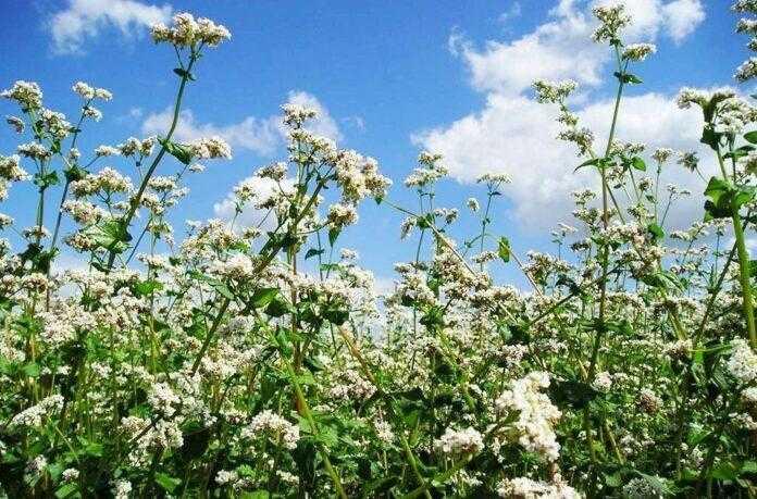 Держава надасть компенсацію фермерам при втраті посівів та субсидію виробникам гречки